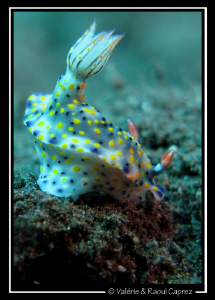This Hypselodoris kanga was too quick for me ... it was a... by Raoul Caprez 